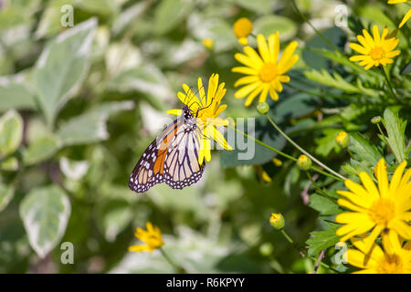 Colorful monarch butterfly sitting on yellow daisy with foliage as background - Stock Photo
