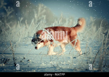 Red siberian husky purebred dog in winter snowing outdoor toned image - Stock Photo