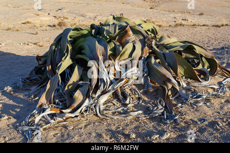 prehistoric desert plant, Namibia - Stock Photo