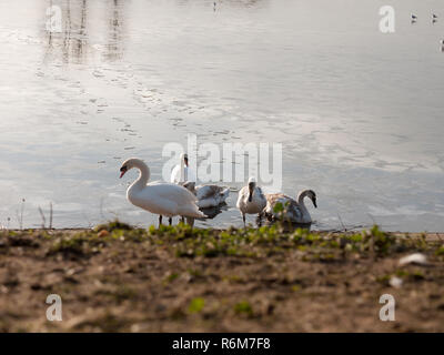 Mute swans with cygnets family beach cold water lake surface outside nature reserve - Stock Photo