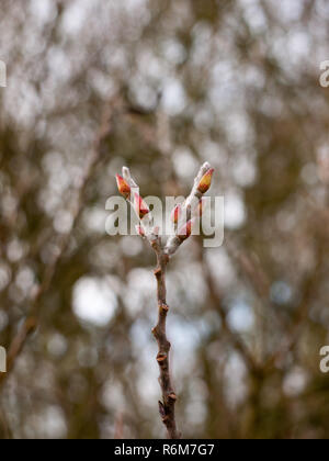 close up of two budding tips of tree in winter - Stock Photo
