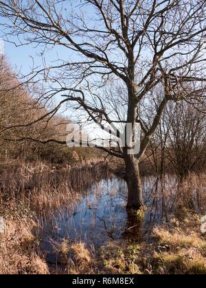 close up shot of bark bare tree in pool of water grass reeds around scene - Stock Photo