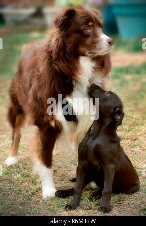 Cowboy, a six-year-old, red tri Australian Shepherd dog, hangs out with a new friend, a black, mixed breed puppy, Jan. 1, 2015, in Coden, Alabama. - Stock Photo