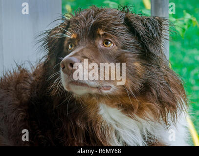 Cowboy, a seven-year-old Australian Shepherd, waits to be allowed inside on a rainy day, May 25, 2015, in Coden, Alabama. - Stock Photo