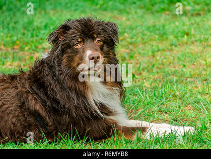 Cowboy, a six-year-old red-tri Australian Shepherd, cools off during a summer rainstorm in Coden, Alabama, July 19, 2014. - Stock Photo