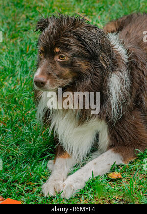 Cowboy, a six-year-old red-tri Australian Shepherd, cools off during a summer rainstorm in Coden, Alabama, July 19, 2014. (Photo by Carmen K. Sisson/C - Stock Photo