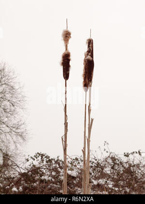 close up of bulrush in white winter sky outside nature plant - Stock Photo