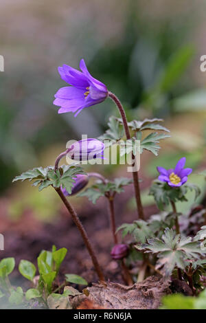 blossoming balkan anemone or spring anemone anemone blanda - Stock Photo
