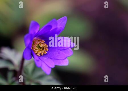 macro blossom balkan anemone or spring anemone anemone blanda - Stock Photo