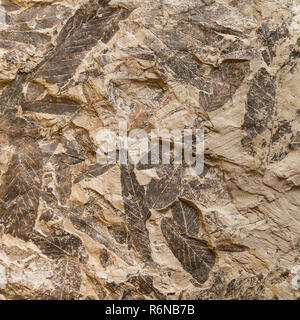 Imprint of fossil prehistoric plant leaves on stone - Stock Photo