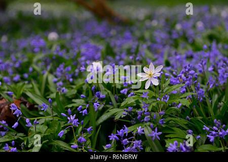 anemone nemorosa,White Wood Anemone,Siberian Squill,Scilla siberica,carpet,blue,white,flower,flowers,wood,woodland,spring,RM Floral - Stock Photo