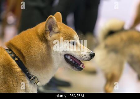 22th INTERNATIONAL DOG SHOW GIRONA March 17, 2018,Spain - Stock Photo