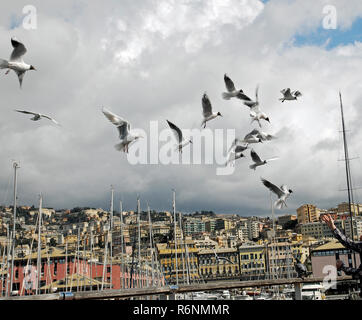 seagulls over genoa - Stock Photo