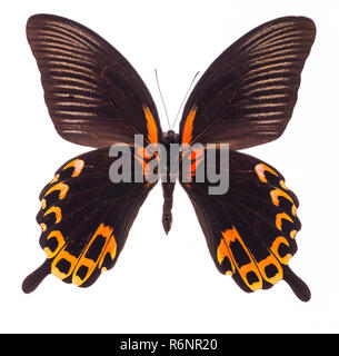 Scarlet Mormon butterfly isolated on white - Stock Photo