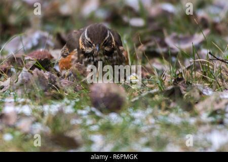 red thrush (tirdus iliacus)