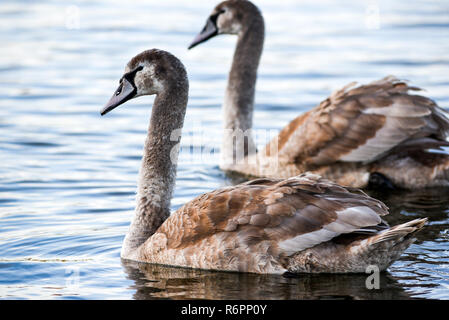 Young gray swans swimming on a lake in Poland. - Stock Photo