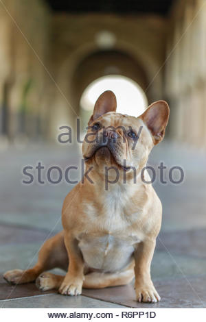 French Bulldog sitting on  the floor and looking up. - Stock Photo
