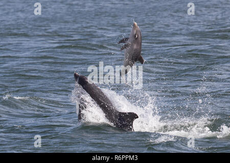 Bottlenose dolphin tossing 2 week old calf clear of the water in the Moray Firth, Scotland - Stock Photo