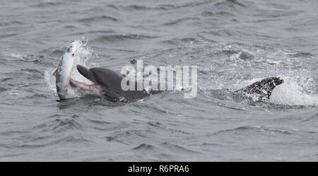 Bottlenose dolphin hunting Atlantic salmon in Scottish waters - Stock Photo