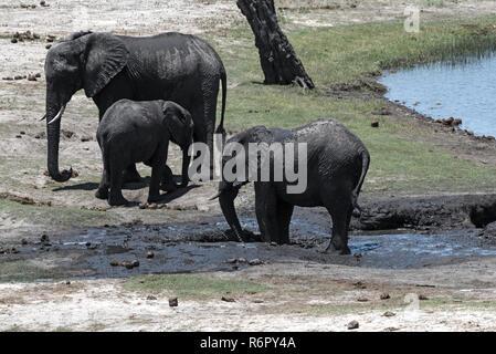 Elephant group on the Chobe River Front in Chobe National Park, Botswana - Stock Photo