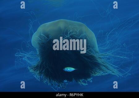 Lion's mane jellyfishб giant jellyfish or the hair jelly (Cyanea capillata, Cyanea arctica) South China Sea, Redang Island, Malaysia, Asia - Stock Photo