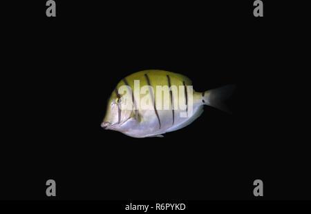 Convict tang, Convict surgeon or Convict surgeonfish (Acanthurus triostegus) Indian Ocean, Hikkaduwa, Sri Lanka, South Asia - Stock Photo