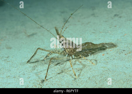 shrimp (Palaemon sp.) Far East, Sea of Japan, Russia - Stock Photo