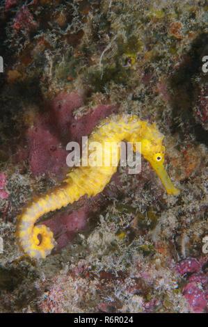 Yellow sea horse, Estuarine seahorse, Oceanic sea horse, or Spotted seahorse (Hippocampus Kuda), Bohol Sea, Indo-Pacific, Philippines, Southeast Asia - Stock Photo
