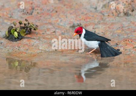 Male Yellow billed Cardinal (Paroaria capitata) bathing, Pantanal, Mato Grosso, Brazil - Stock Photo