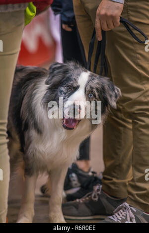 22th INTERNATIONAL DOG SHOW GIRONA March 17, 2018,Spain, Blue Merle Border Collie - Stock Photo
