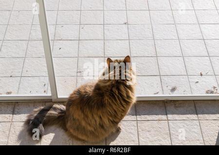 Adorable siberian cat outdoor , looking in the garden - Stock Photo