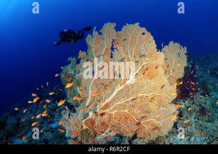 Diver looking at soft coral Venus fan or Venus sea fan, common sea fan, West Indian sea fan or purple gorgonian seafan (Gorgonia flabellum) in Ras Muh - Stock Photo