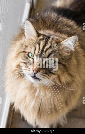 Adorable siberian cat outdoor in a garden, looking up - Stock Photo