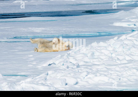 Male Polar Bear (Ursus maritimus) resting and stretching on the pack ice, Spitsbergen Island, Svalbard archipelago, Norway, Europe - Stock Photo