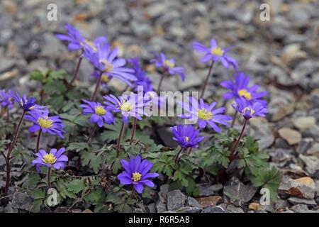 balkan windflower or ray anemone anemone blanda - Stock Photo