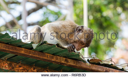 Rhesus macaque monkey (Macaca Mulatta) in Wat Khao Takiap, Hua Hin, Thailand - Stock Photo