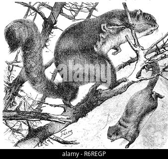Digital improved reproduction, Red giant flying squirrel, Petaurista petaurista, Roter Taguan, Pteromys nitidus, original print from the 19th century - Stock Photo