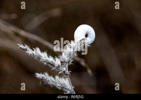 White snail on a spiny twig against a dark blurred background close-up. Greece - Stock Photo
