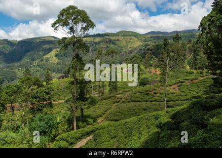 Tea Plantation near Nuwara Eliya, Sri Lanka - Stock Photo