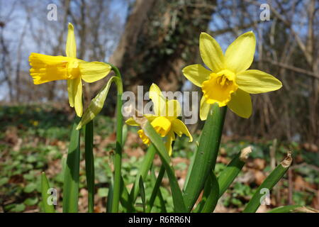 easter bells,wild daffodils in the forest - Stock Photo