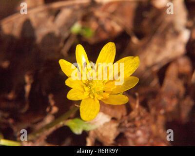 close up of yellow growing spring pretty flower floor - Ranunculus ficaria L. - Lesser Celandine - Stock Photo