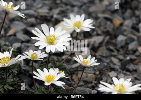 radiant anemone anemone blanda white splendor - Stock Photo