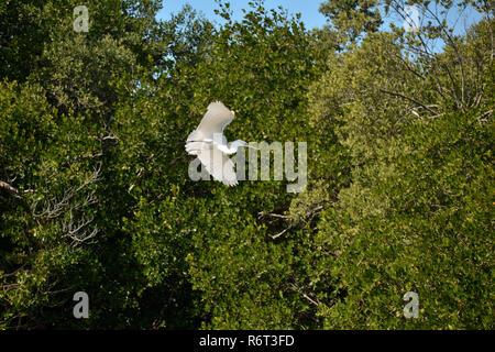 Snowy egret seen flying alongside Wildlife Drive in the J.N. 'Ding' Darling Wildlife Refuge on Sanibel Island, Florida US. - Stock Photo