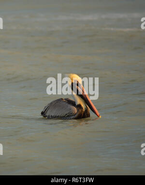 A brown pelican takes a break from fishing in Gulf of Mexico just off Tarpon Beach on Sanibel Island, Florida. - Stock Photo