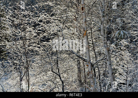 Tree branches with snow and residual ice, Greater Sudbury, Ontario, Canada - Stock Photo
