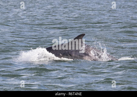 Bottlenose dolphin newborn calf - Stock Photo