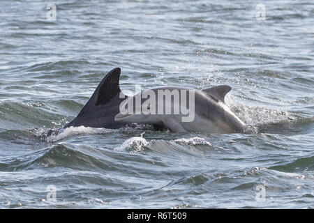 Bottlenose dolphin newborn calf - Stock Photo