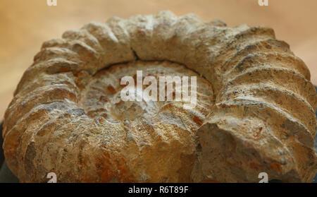Petrified extinct ammonite fossil shell remains - Stock Photo