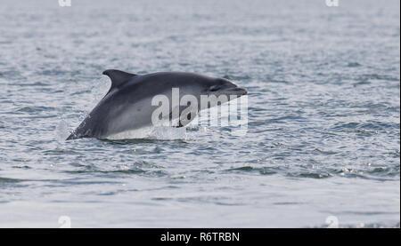 Bottlenose dolphin breaching - Stock Photo