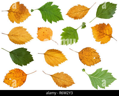 set of various leaves of hawthorn trees isolated - Stock Photo